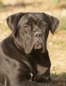 fotos-perros-cane-corso